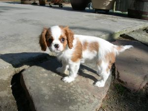 cavalier king charles puppy Got a Spare £8k to Help Cavaliers? (It's not for health btw, it's for PR)
