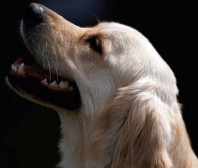 doglookingup Government Admits Dangerous Dogs Act Mistake