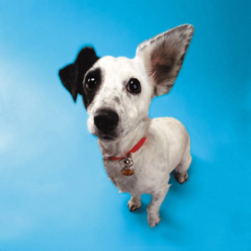 Jack Russell with one ear up413017