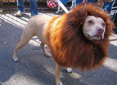 Pit Bull Lion
