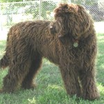 labradoodle Evolution of The Domestic Dog